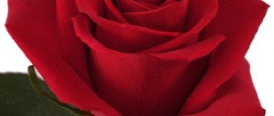 La rose eclose